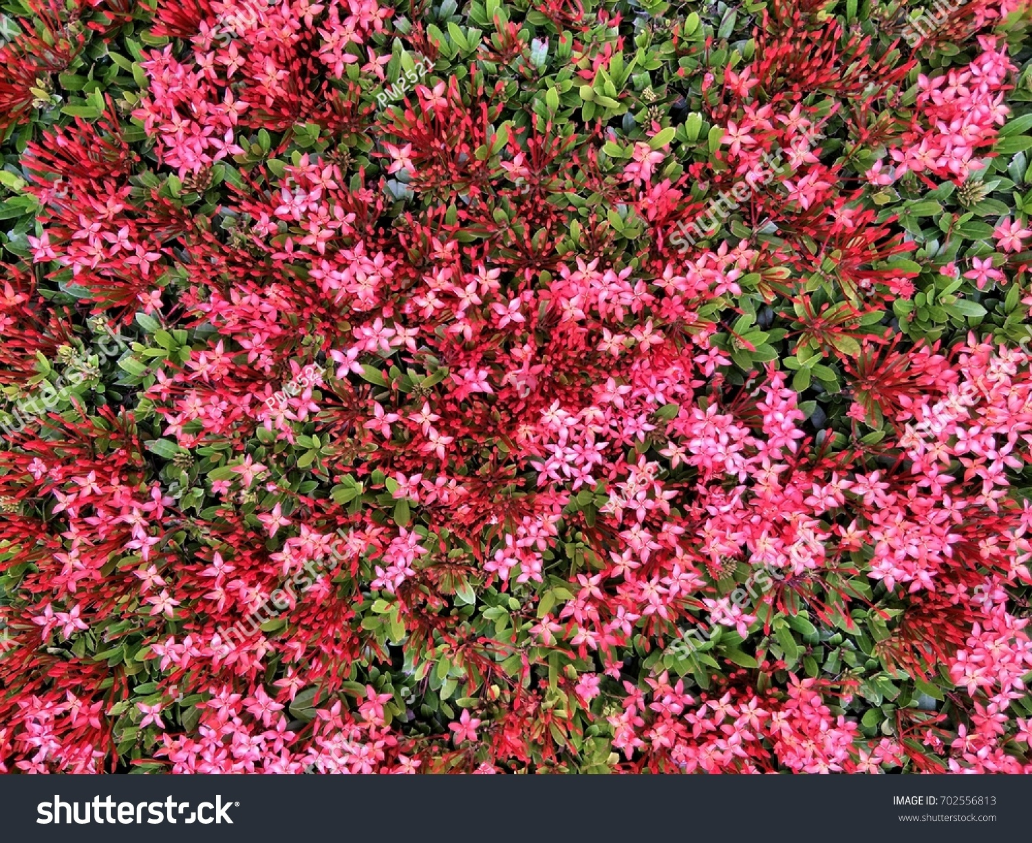 Red Pink Spike Flowers Stock Photo Edit Now 702556813 Shutterstock