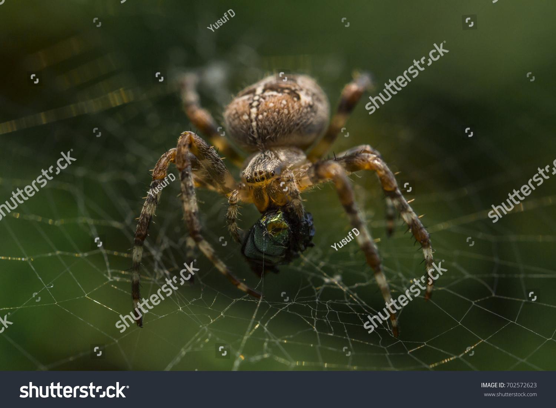 Macro Image Araneidaeorbweavers Spider His Prey Stock Photo (Royalty ...