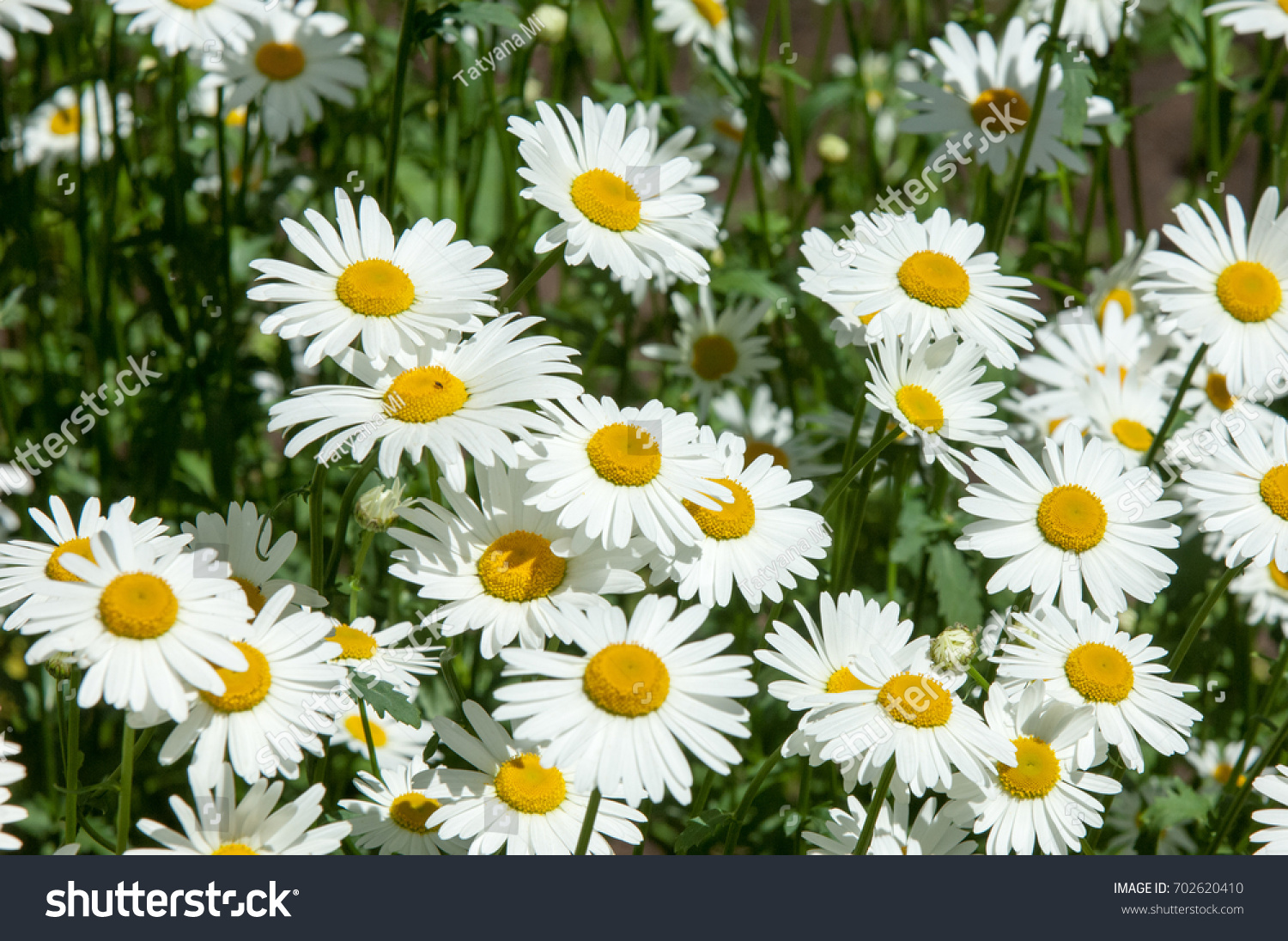 Summer Photos Flowers Daisies Aromatic European Stock Photo Edit