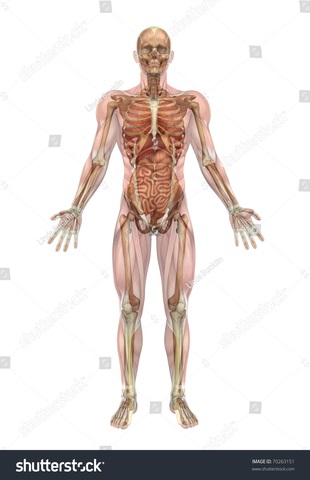 male human skeleton internal organs 3d stock illustration 70263151, Skeleton