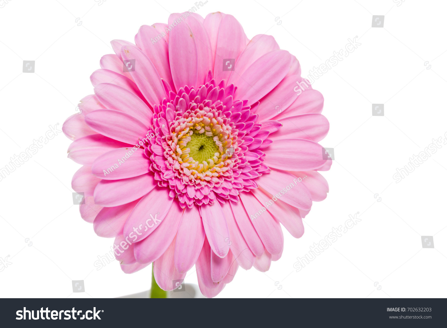 A Pink Gerbera Daisy Flower Isolated On White Ez Canvas