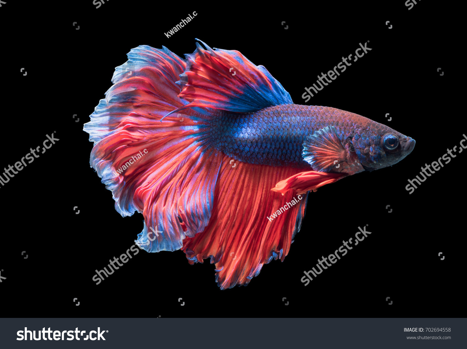 Betta Splendens Beautiful Fighting Fish Isolated Stock Photo ...