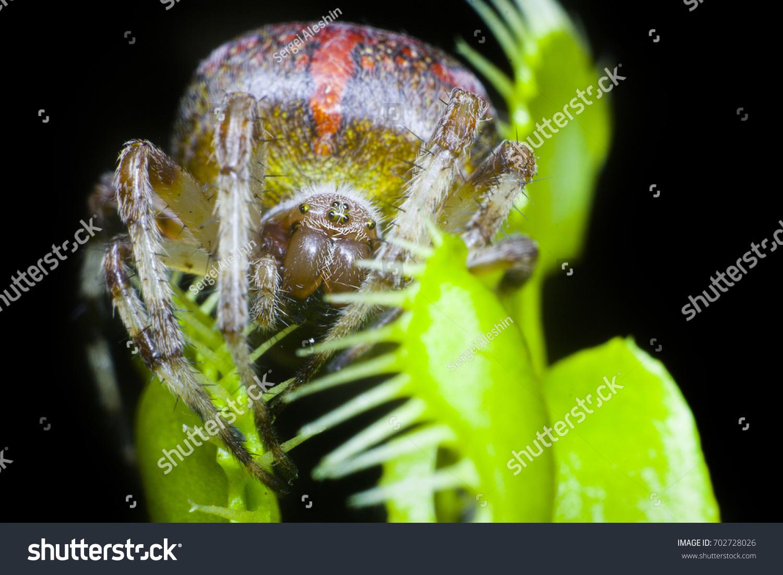 Araneus Spider On Venus Flytrap Black Stock Photo (Edit Now ...