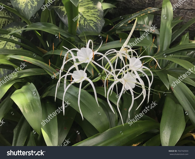 White hymenocallis spider lily flower bali stock photo edit now white hymenocallis spider lily flower in bali izmirmasajfo