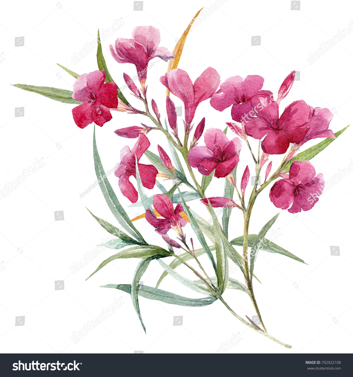 Watercolor Illustration Pink Oleander Flower Branch Stock