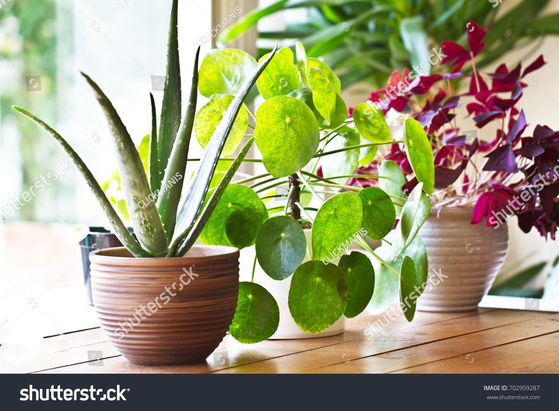 House plants display. Indoor plants in window