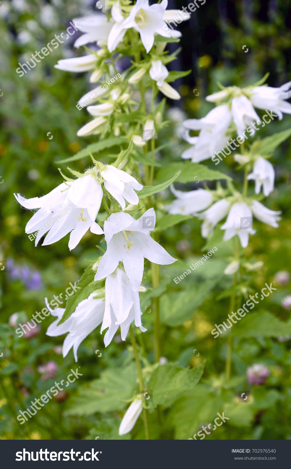 White Bell Flowers Garden Stock Photo Edit Now 702976540