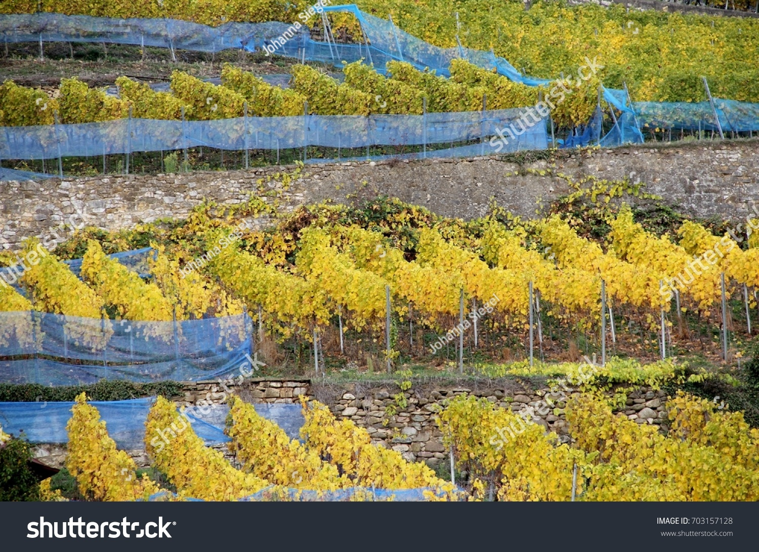Yellow vineyard with blue safety nets and stone walls in autumn, Germany, November 2016.