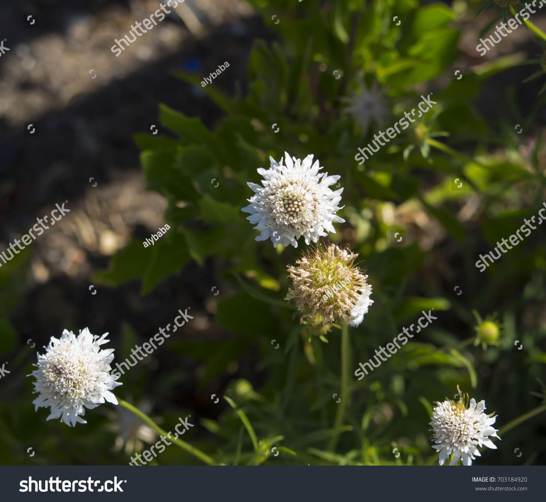 Dainty White Scabiosa Columbaria Genus Honeysuckle Stock Photo Edit