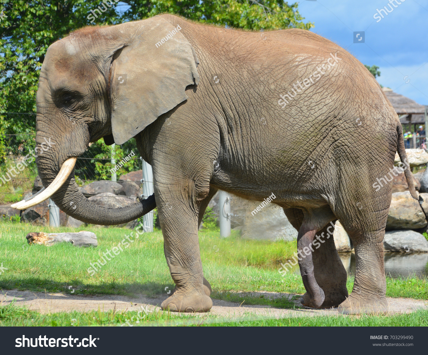 Are Elephants Mammals >> Elephants Large Mammals Family Elephantidae Order Stock Photo Edit