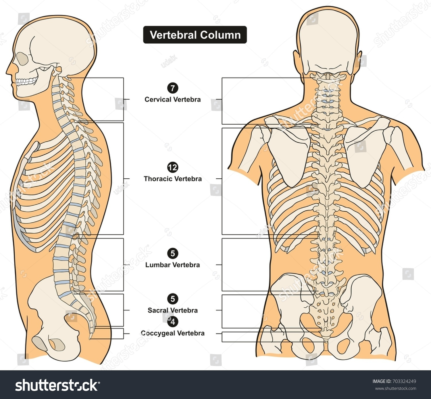 Vertebral Column Human Body Anatomy Infograpic Stock Vector (2018 ...