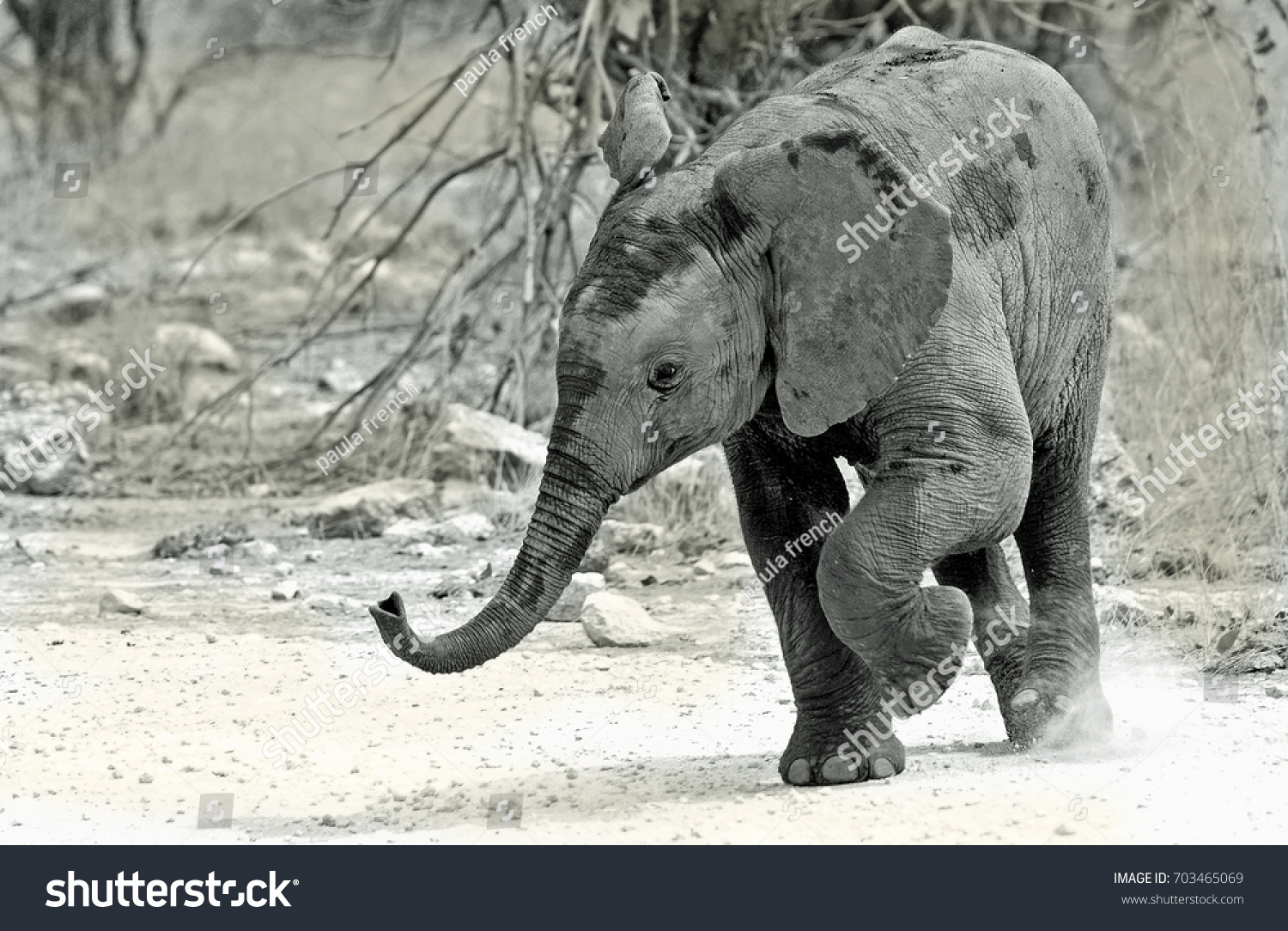 Baby Elephant with one leg lifted and trunk in the air - Hwange National Park, Zimbabwe.  Visible motion blur is detected in from leg