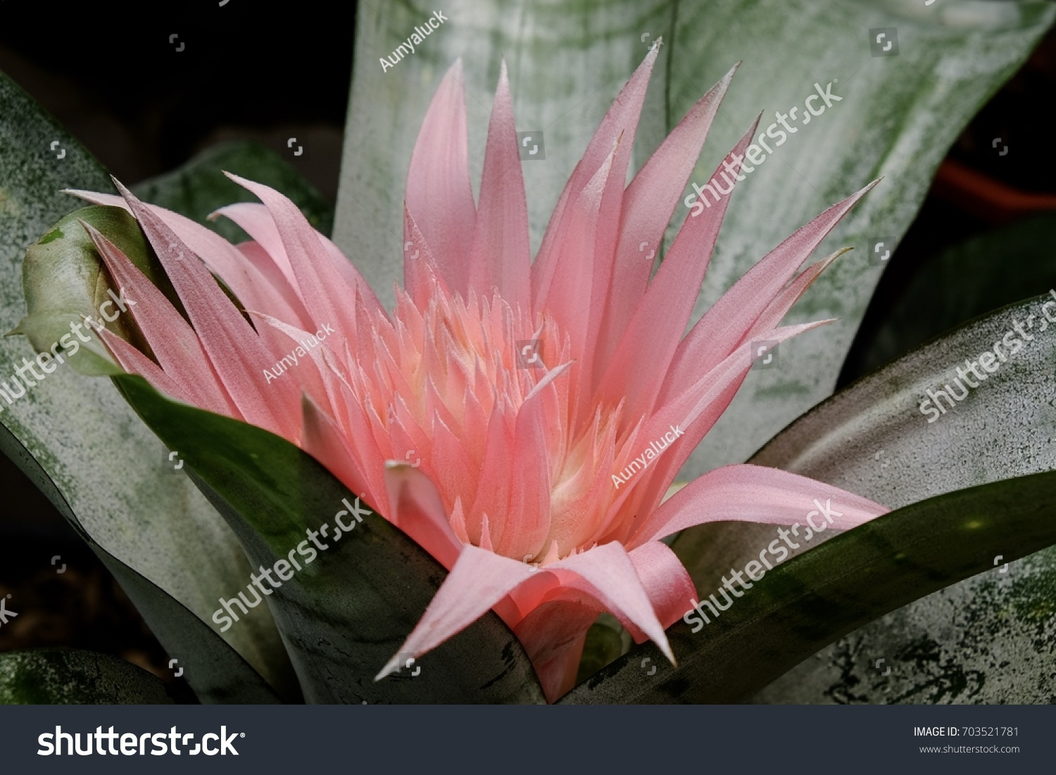 Pink Bromeliad Flower Silver Vase Bromeliad Stock Photo Edit Now