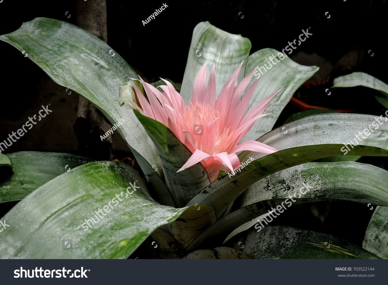 Pink Bromeliad Flower Silver Vase Bromeliad Stock Photo Safe To Use
