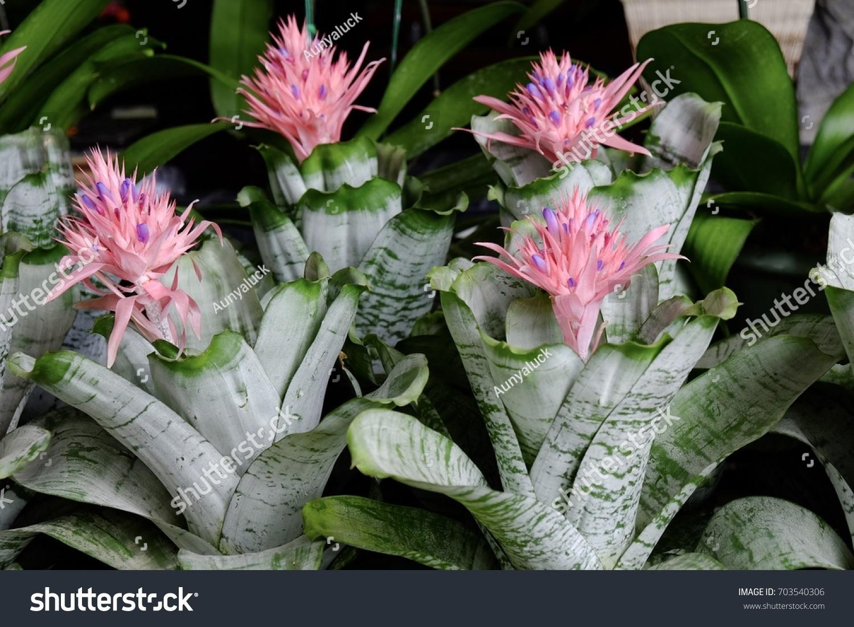 Silver vase bromeliads pink flowering bracts stock photo 703540306 silver vase bromeliads with pink flowering bracts ornamental pineapples bloom in pink reviewsmspy