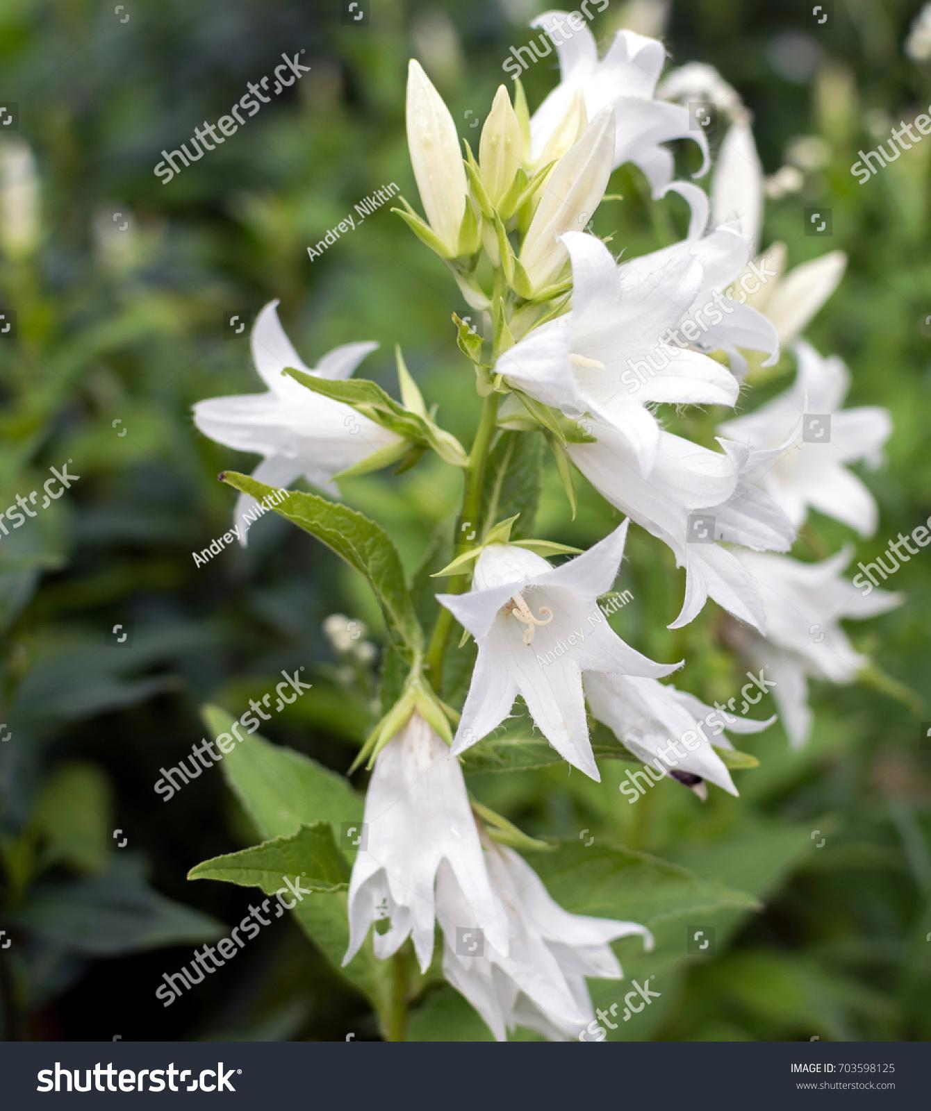 White Bellflowers Campanula In The Garden Ez Canvas