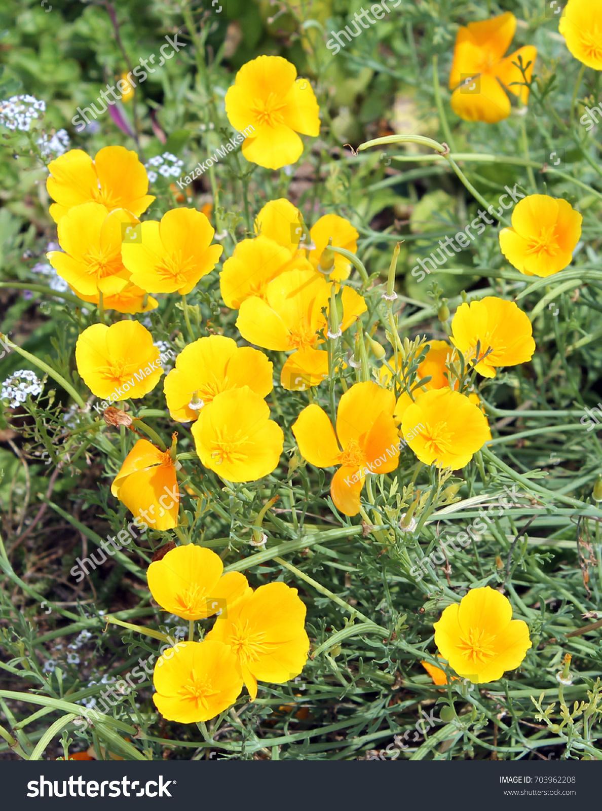 California Poppy Eschscholzia Californica Yellow Flowers Stock Photo