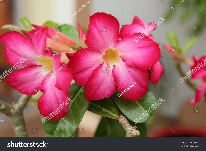 Pink bignonia beautiful flowers blooming stock photo 703983694 pink bignonia beautiful flowers are blooming izmirmasajfo Images