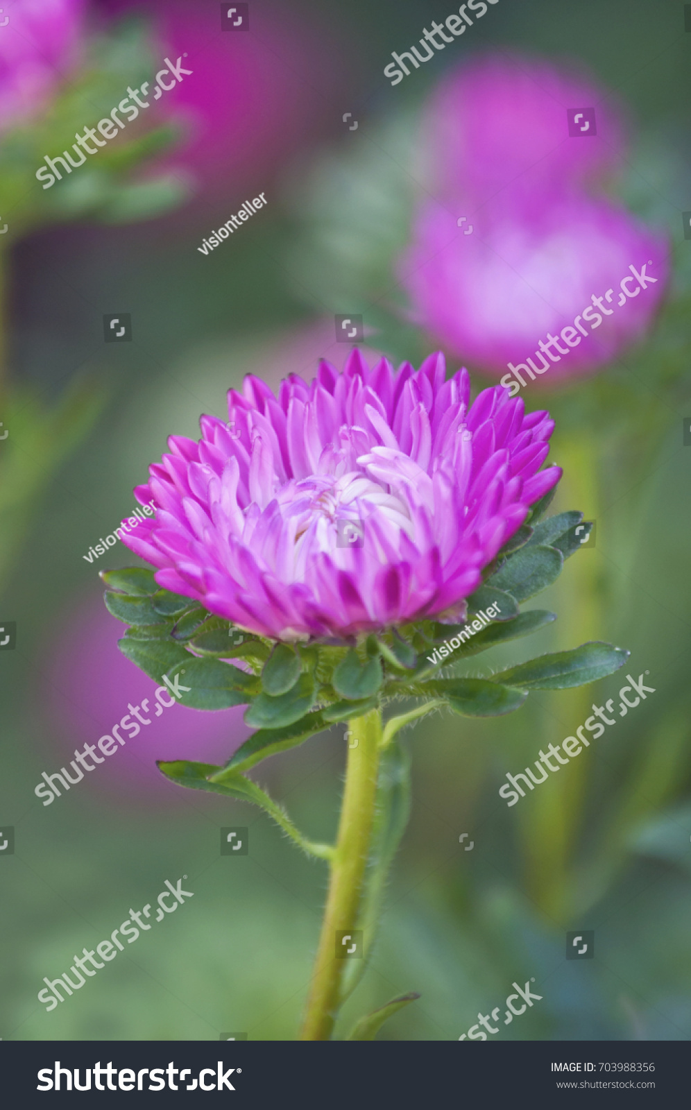 Background Of Bright Pink Aster Flowerspink Aster Flower Isolated