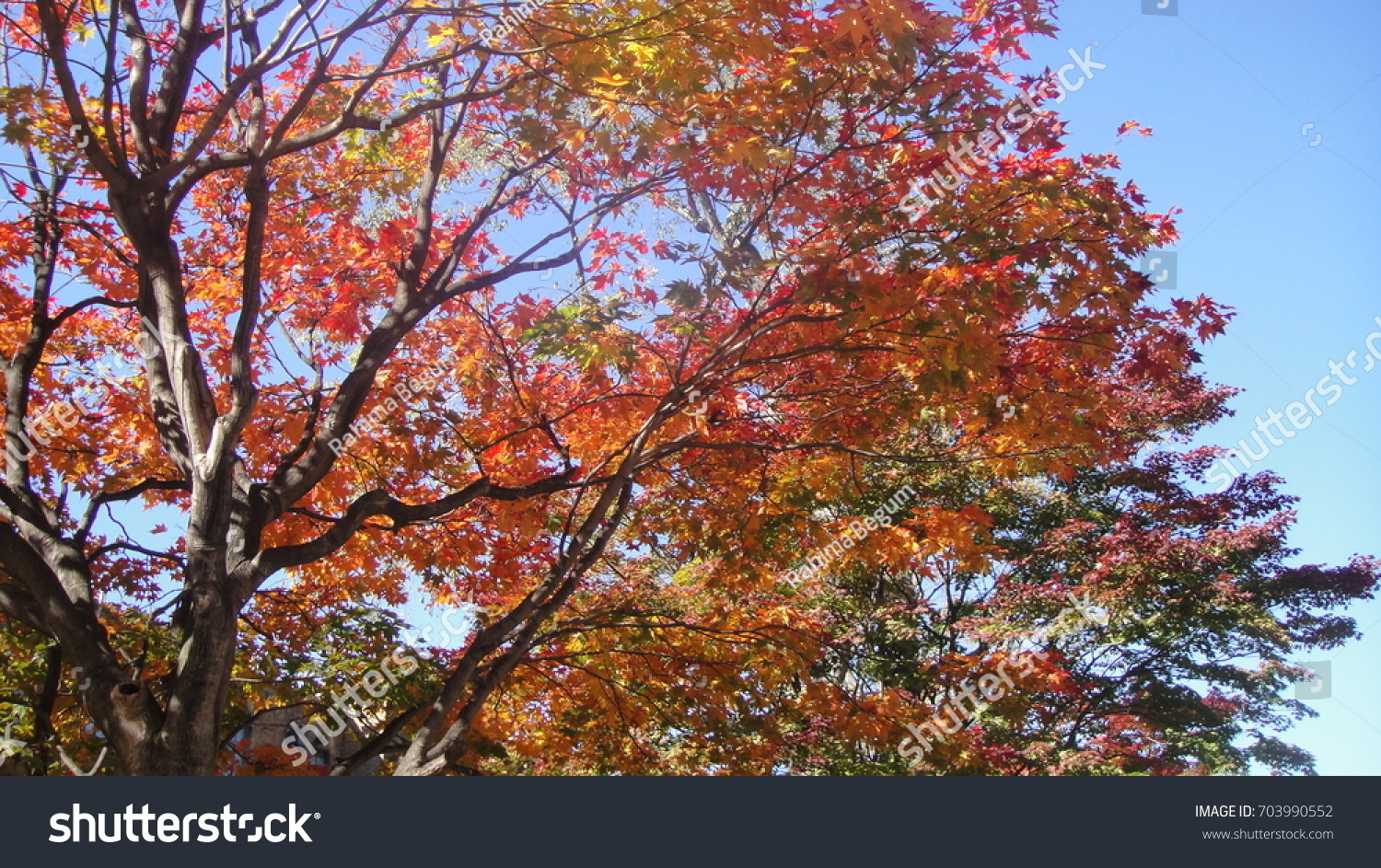 Colorful autumn leaves on blue sky background aat hokkaido university campus, ,japan , #703990552