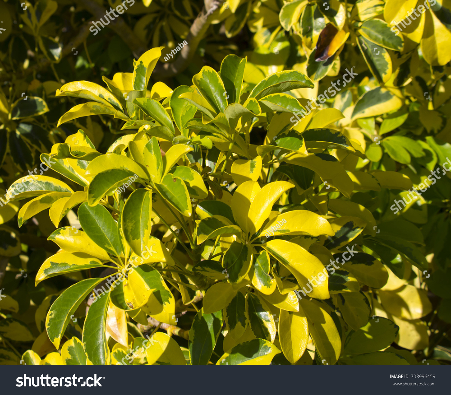 Variegated Yellow Green Leaves Dwarf Umbrella Stock Photo Safe To
