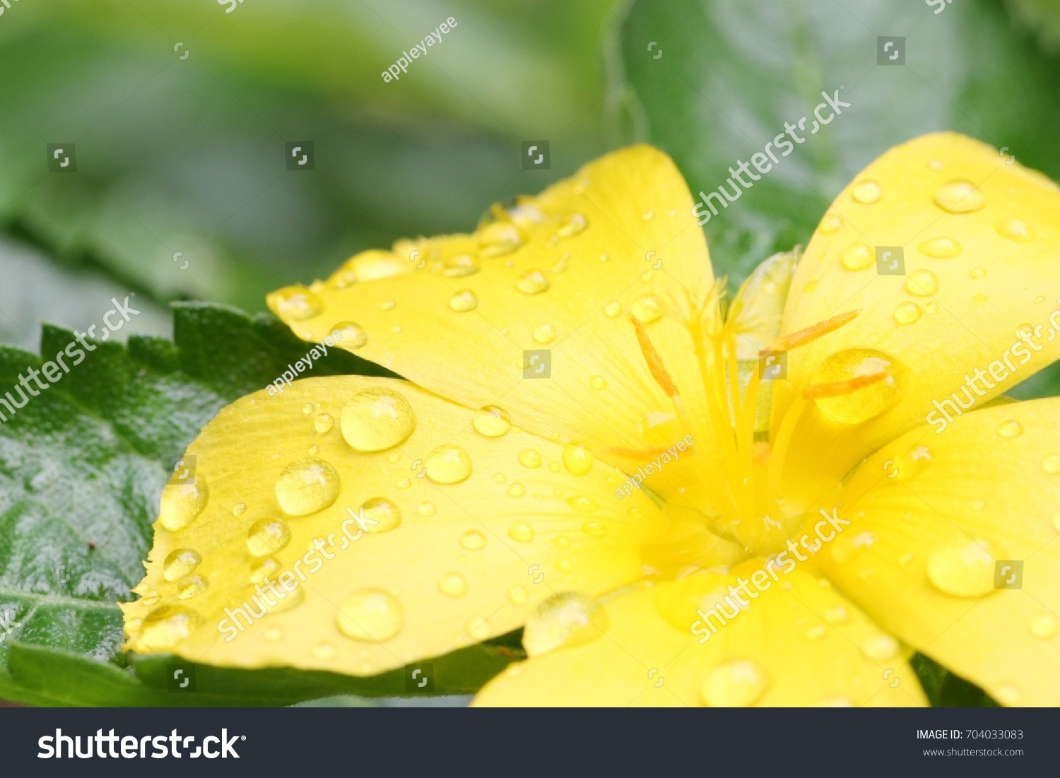 Morning Blooming Bright Yellow Sage Flower Stock Photo Edit Now