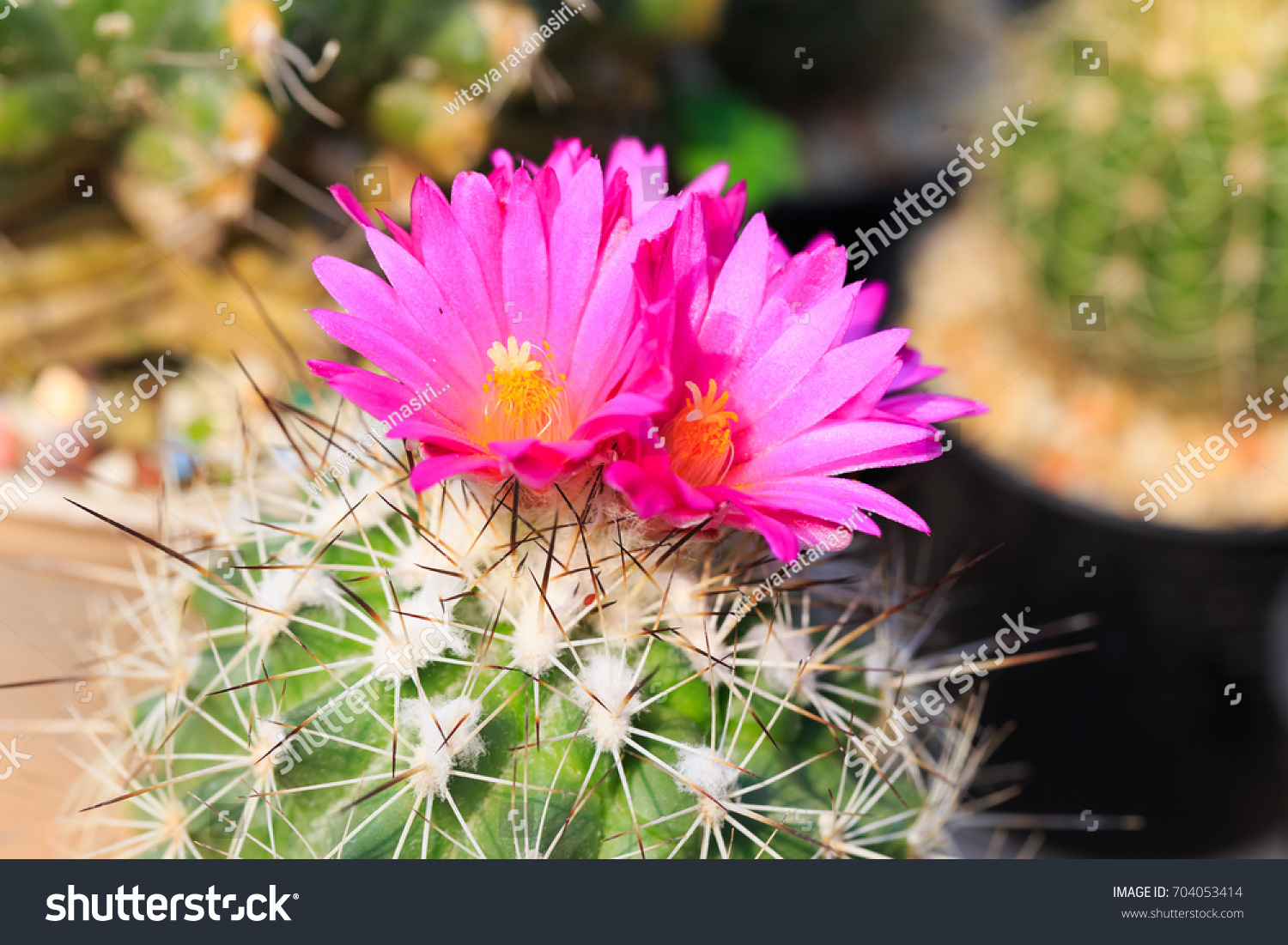 Pink Cactus Flower Selected Focus Stock Photo Edit Now 704053414