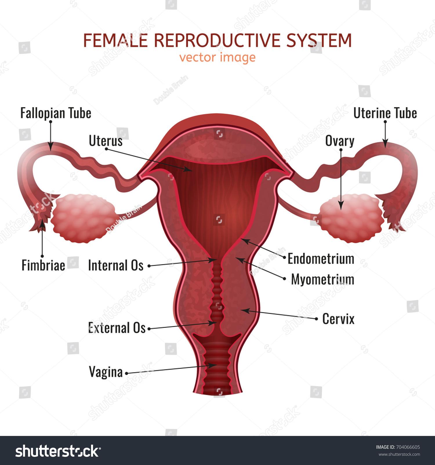 Female Reproductive System Women Uterus Cross Stock Vector Royalty