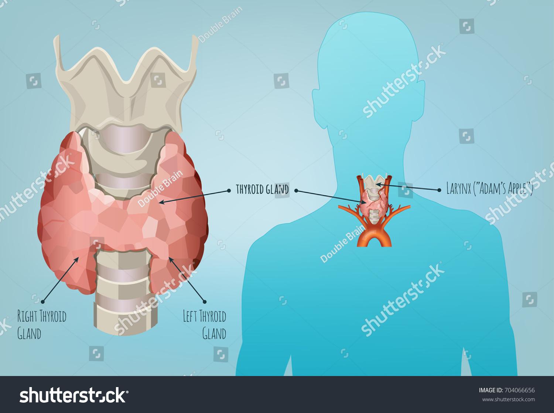 Thyroid Gland Vector Illustration Medical Anatomy Stock Vector ...