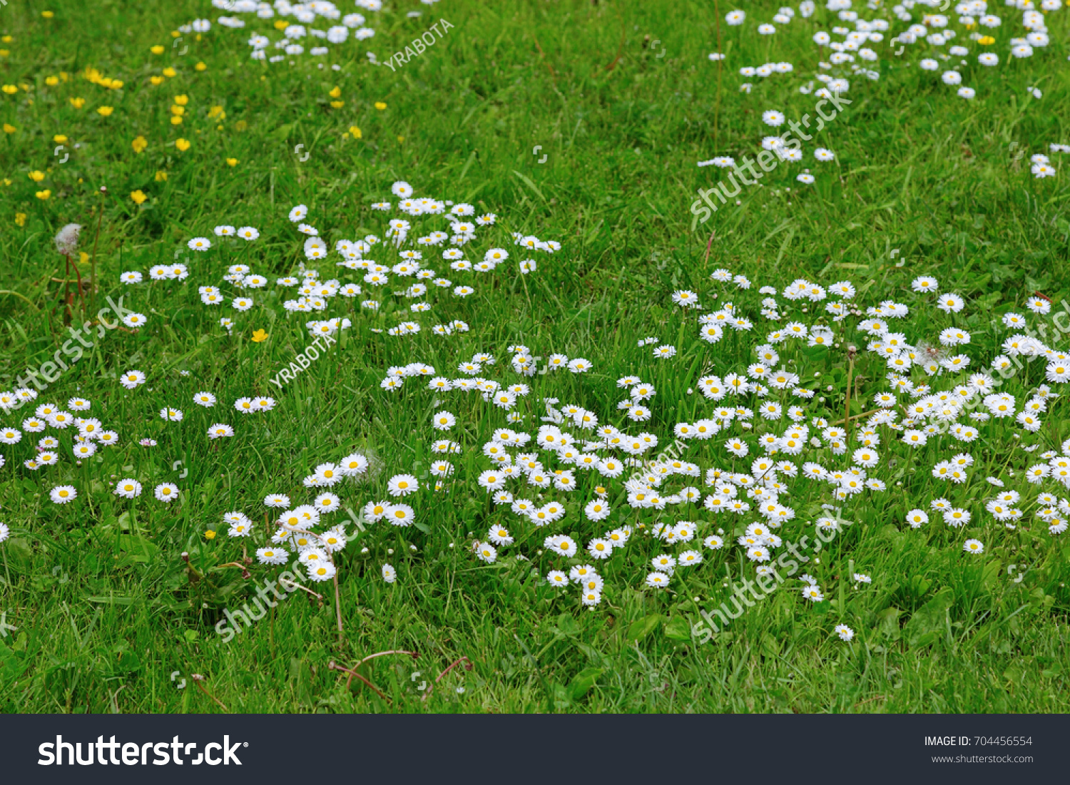 Meadow Flowers White Yellow Flowers Growing Stock Photo Royalty