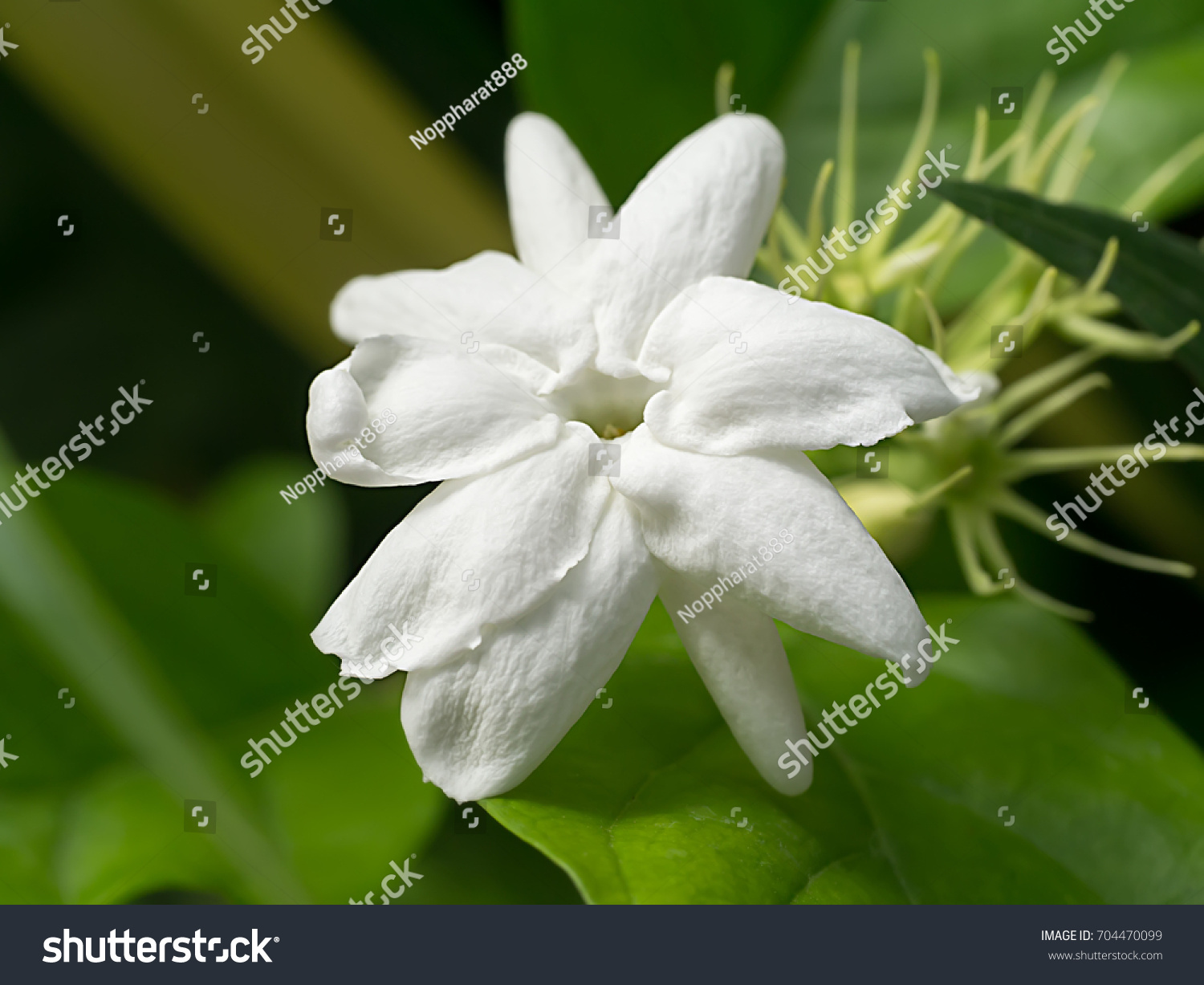 A Macro Shot Of A White Summer Jasmine Bush Bloom Ez Canvas