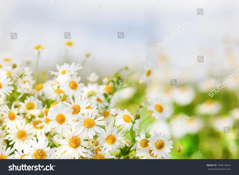 Chamomile Against Sky Beautiful Scene Nature Stock Photo Edit Now