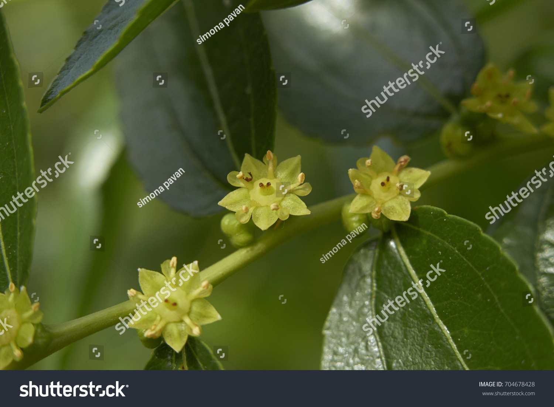 Fruit Tree Yellow Tiny Flowers Stock Photo Edit Now 704678428