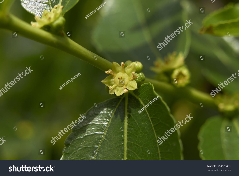 Fruit Tree With Yellow Tiny Flowers Ez Canvas