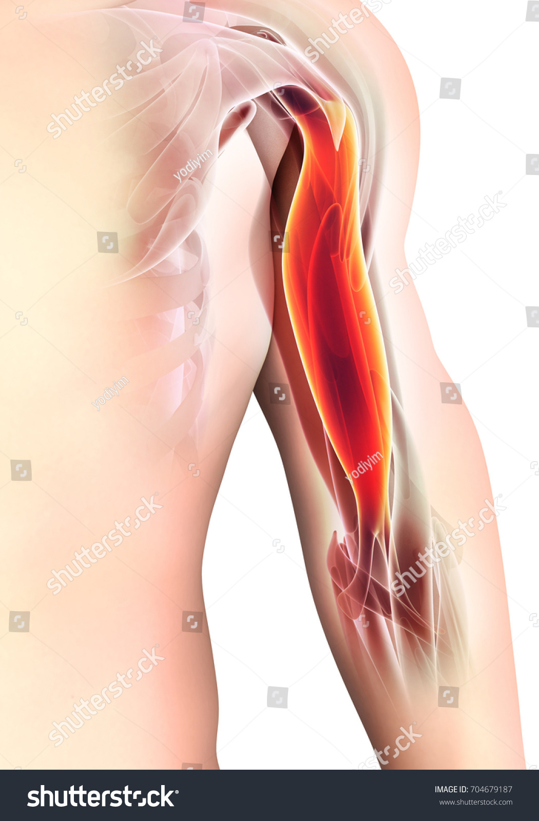 Medical Scientific Graphic Background Bicep Muscular Stock ...