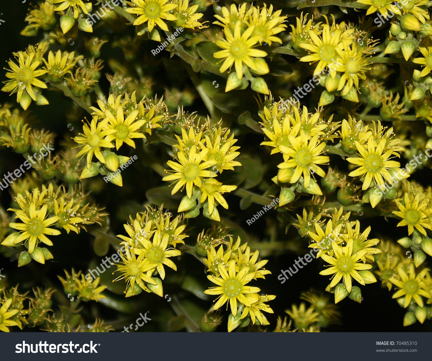 Yellow Succulent Flowers Stock Photo Edit Now Shutterstock