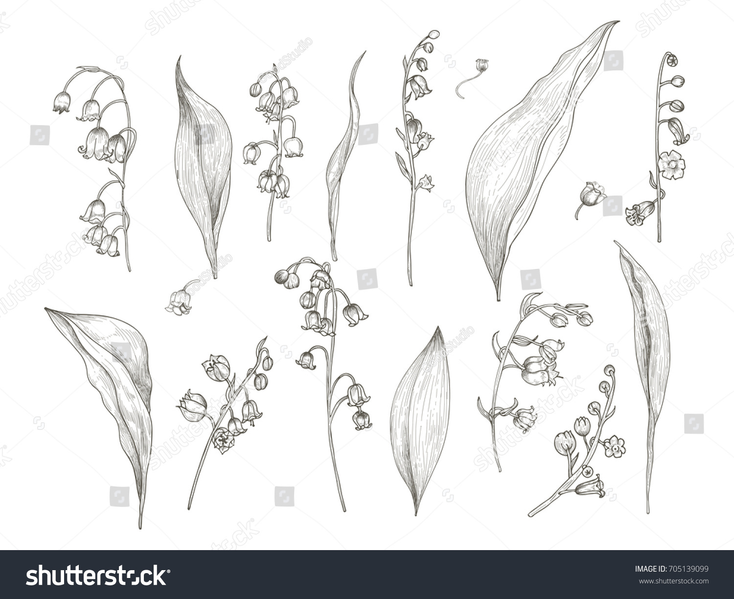 Gorgeous Drawing Lily Valley Parts Flower Stock Vector Royalty Free