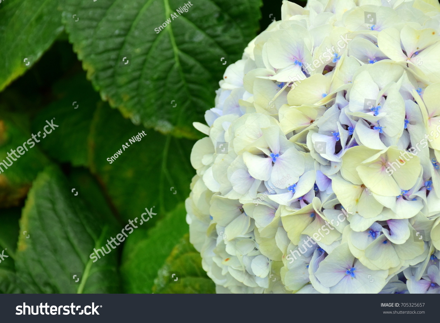Hydrangea hydrangea macrophylla that flower park stock photo edit hydrangea or hydrangea macrophylla that is flower in the park color following soil ph izmirmasajfo