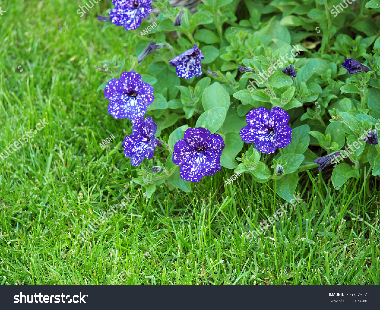 Ampel petunia is one of the popular types of garden flowers 72