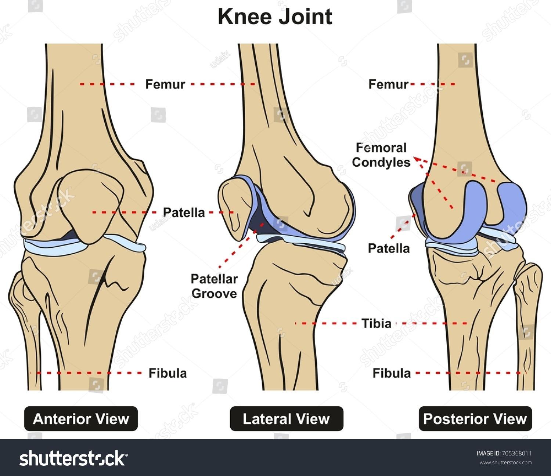 Knee Joint Human Body Anatomy Infographic Ilustración de ...