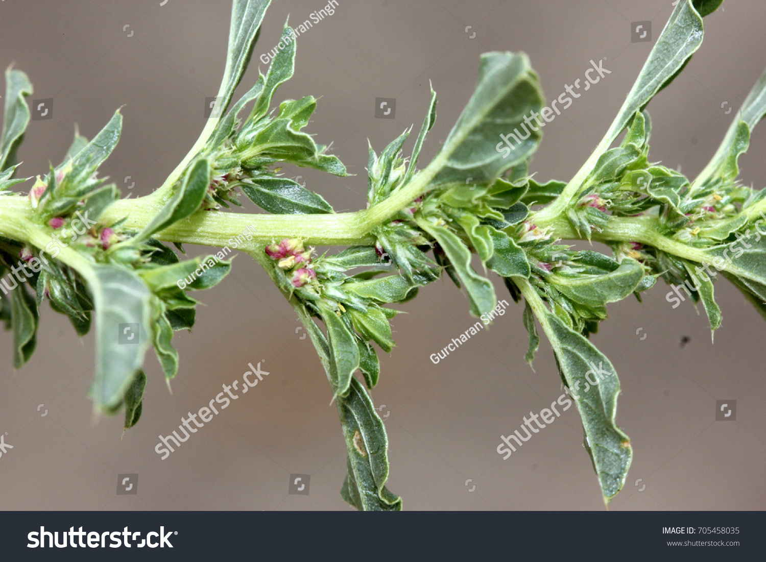 Amaranthus Albus White Pigweed Tumble Pigweed Stock Photo Royalty