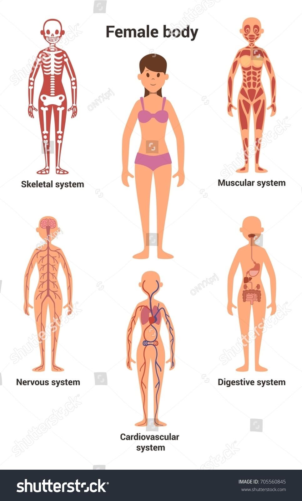Female Body Skeletal Human Anatomy Internal Stock Vector Royalty