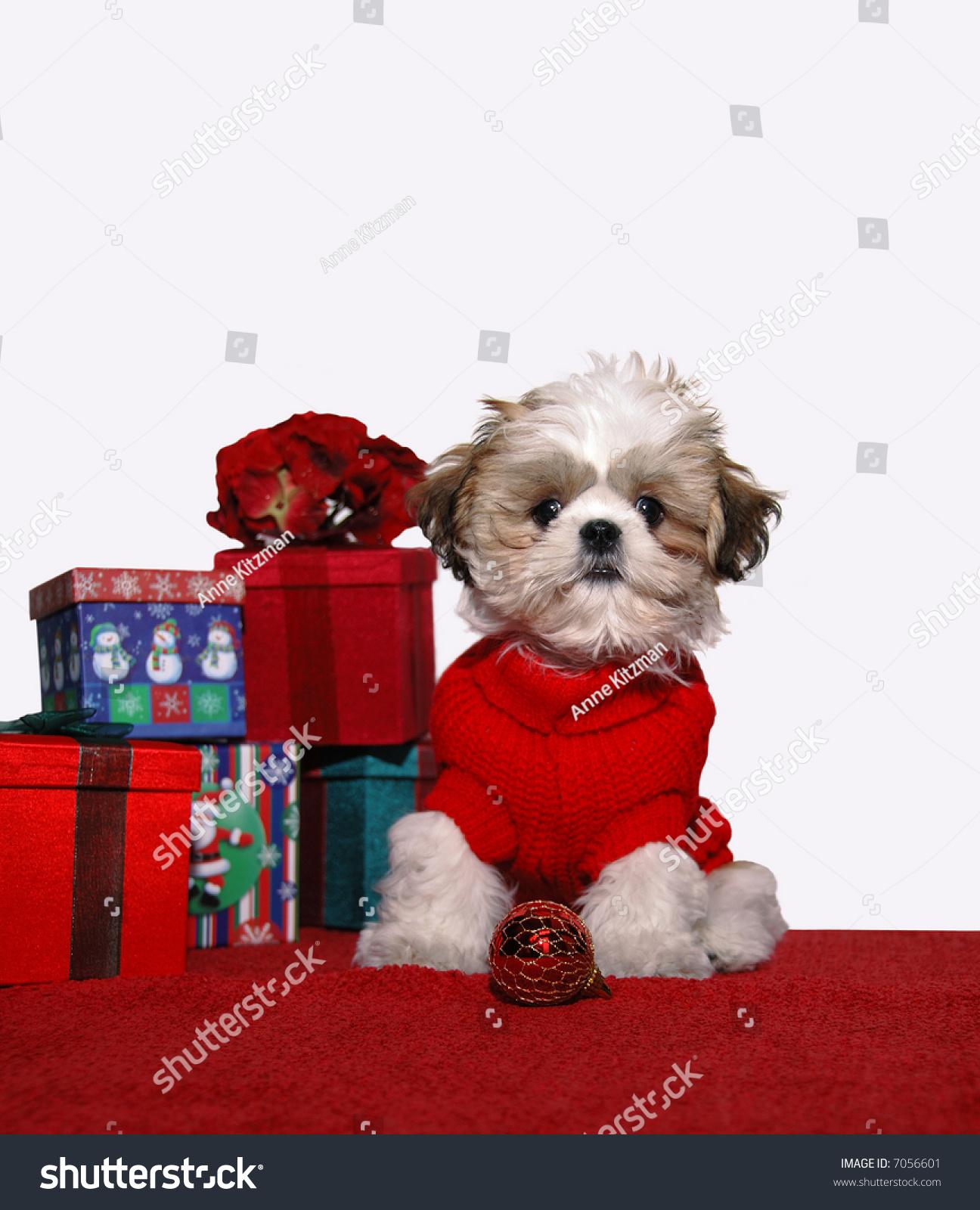 Puppy Red Sweater Shih Tzu Puppy Stock Photo Edit Now 7056601