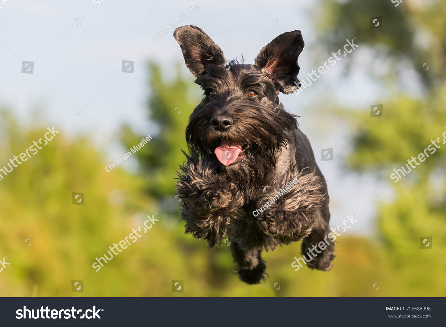 picture of a flying black standard schnauzer dog #705688996