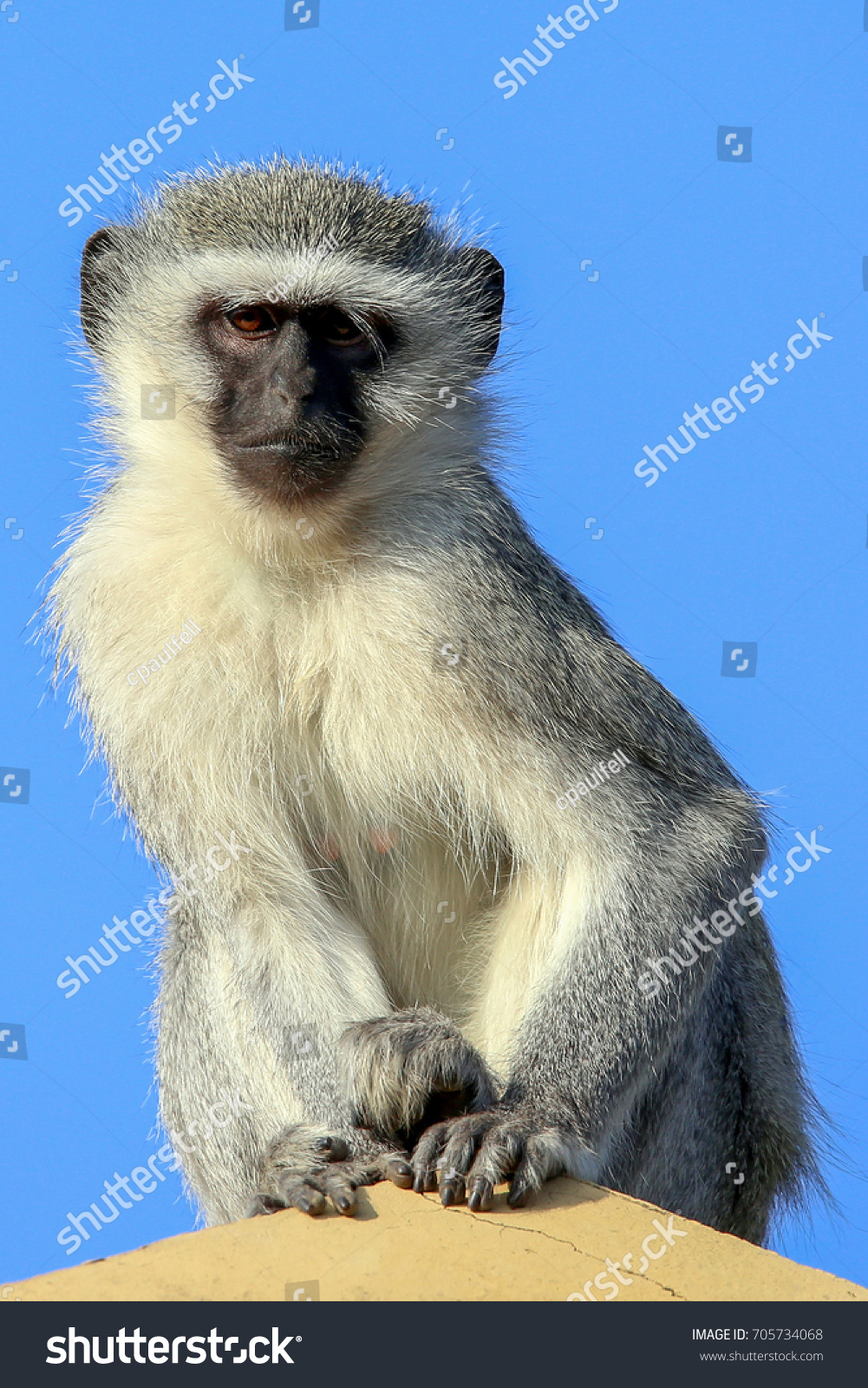 stock-photo-vervet-monkey-keeping-a-look