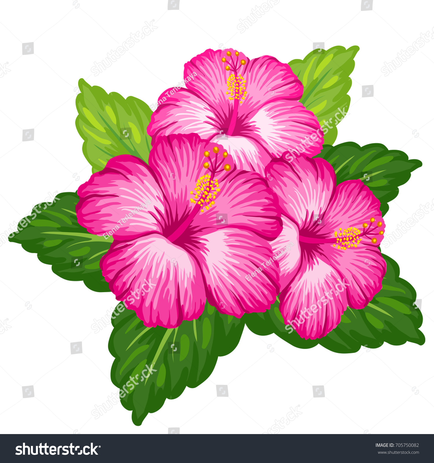 Beautiful Bouquet Tropical Hibiscus Flower Isolated Stock ...
