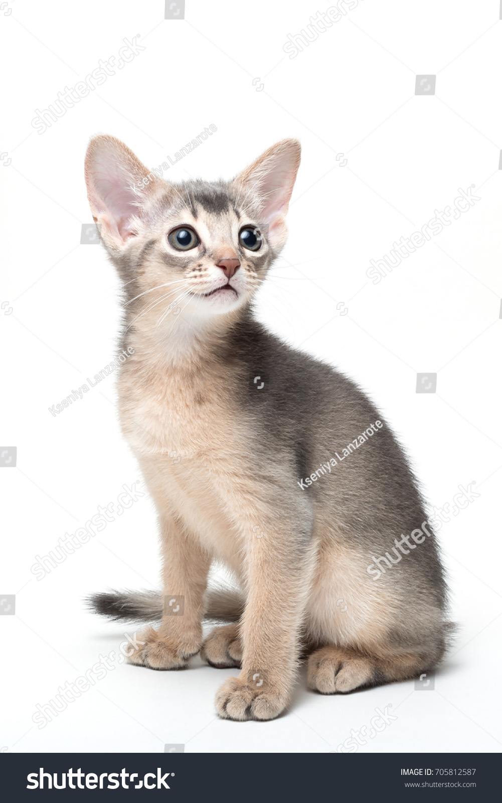 White Blue Abyssinian Cat