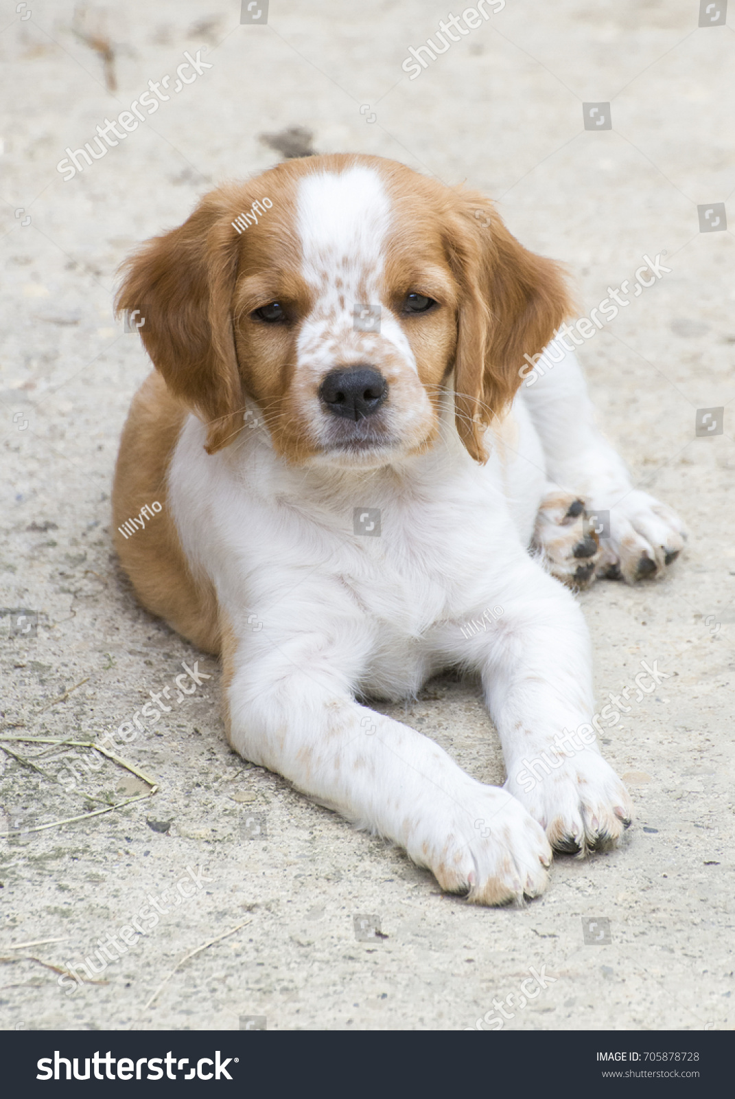 French Brittany Spaniel Puppy Laying Down Stock Photo Edit Now 705878728