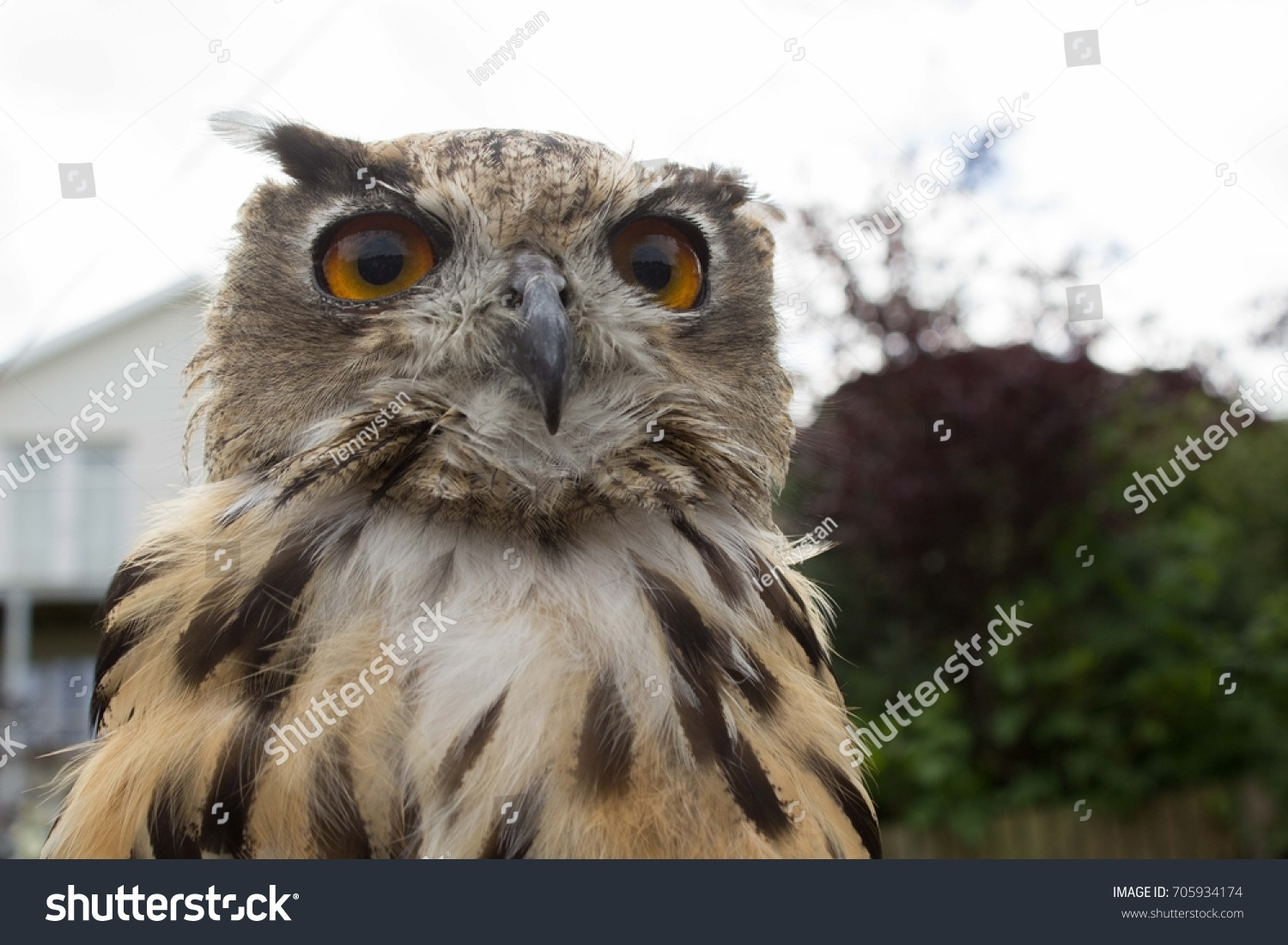 European Eagle Owl (Bubo Bubo), loot at the bird's face from the bottom