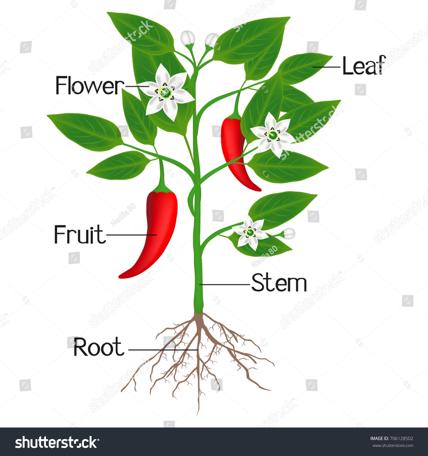 Illustration Showing Parts Chili Pepper Plant Stock Vector 706128502 ...